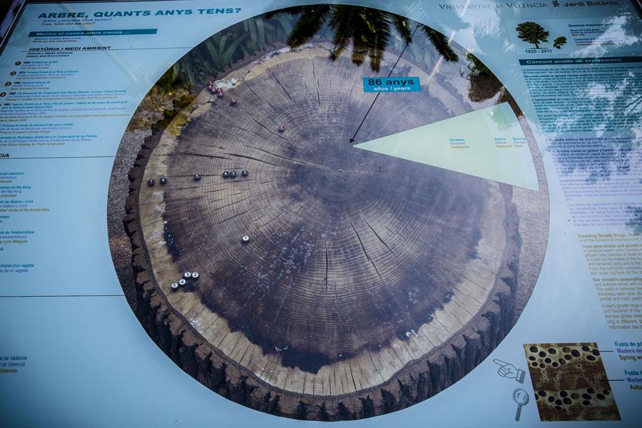 Tall d'un tronc de roure on s'explica la formació dels anells de creixement i la història viscuda per aquest exemplar. Foto: Miguel Lorenzo.