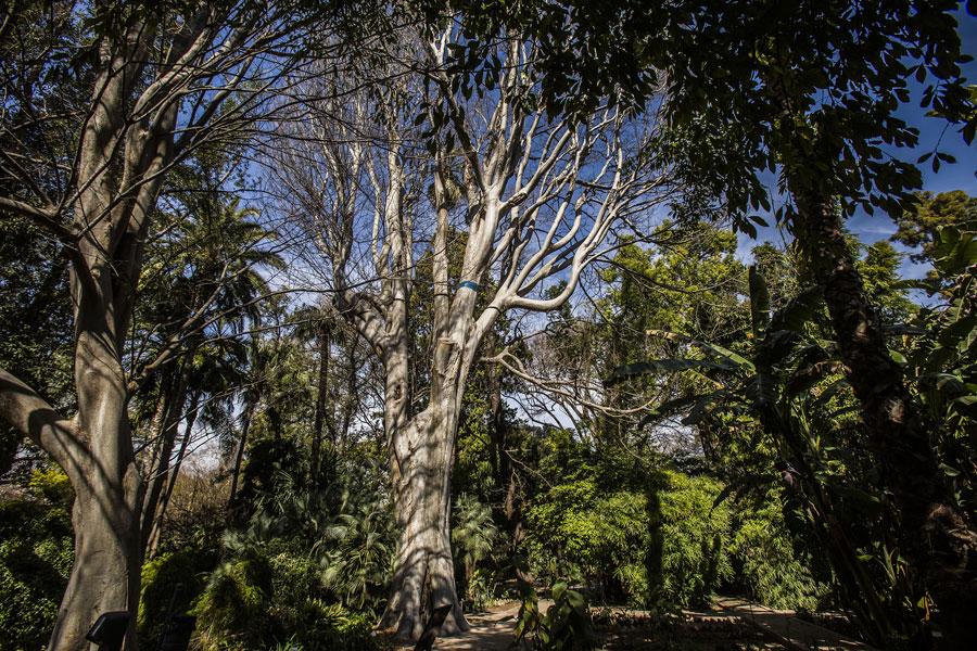 Zelkova carpinifolia, un dels arbres més antics del Jardí. Foto: Miguel Lorenzo.