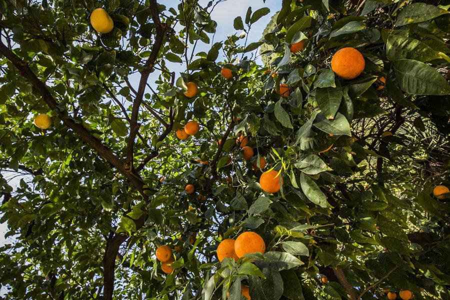 Cocoloba peltata, que tot i la seua grandària tècnicament no és un arbre, perquè no té anells de creixement; i taronger empeltat de taronja amarga i pummello, segurament l'arbre cítric més vell d'Espanya, aproximadament amb un segle d'antiguitat segons els tècnics de l'Institut Valencià d'Investigacions Agràries (IVIA).
